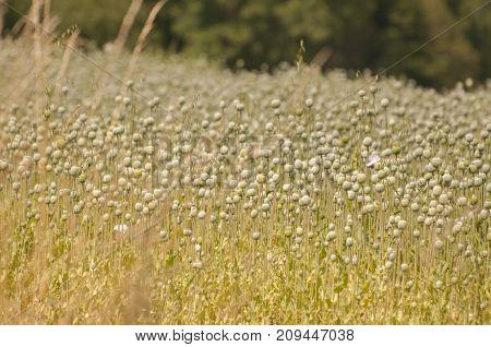 It is image of field full of Poppy heads.