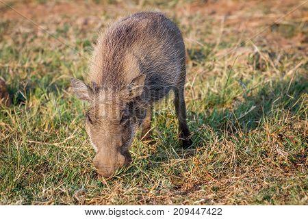 Warthog Eating Grass In Pilanesberg.