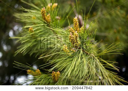 A branch of blossoming pine with long green needles.