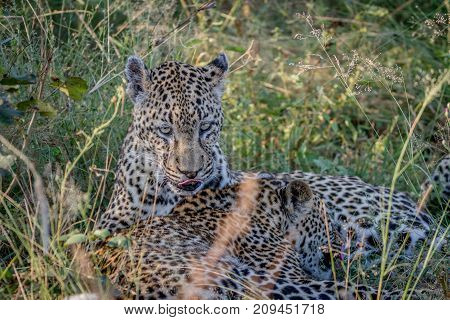 Mother Leopard And Cub Bonding In The Grass.