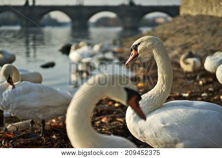 Swans with youngsters on the river Vltava in Prague