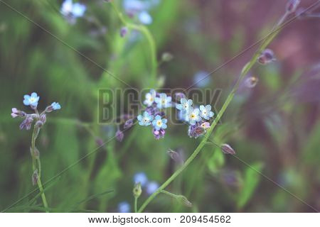 Forget me not flowers on blurred background