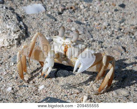beautiful sea crab lives among sand and stones