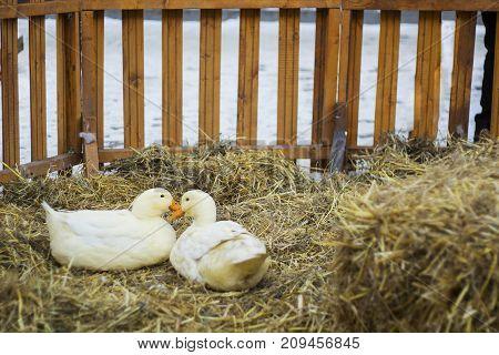 Pair of white ducks sitting on hay. Pair of Pekin duck