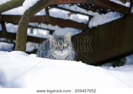 Beautiful wary fluffy gray cat with green eyes sitting in snow