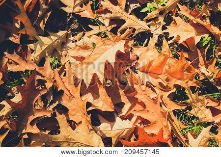 foliage on meadow oak leaves closeup -