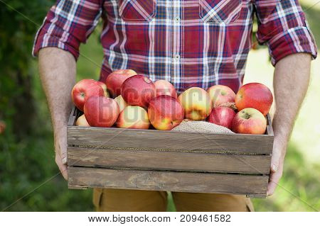 Old man with Apple in the Orchard. Grandfather with Organic Apple in the garden. Harvest Concept. Garden fruits at fall harvest. Senior man pleased with apple harvest in autumn picking organic Apples into the wooden box