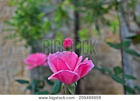 Pink rose in full bloom, close up