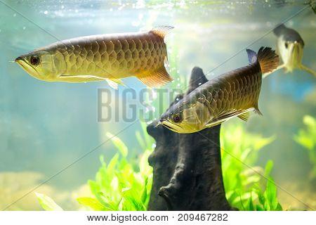 Beautiful Asian dragon fish in the cabinet