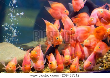 The red fish parrotfish beautiful in the cabinet.