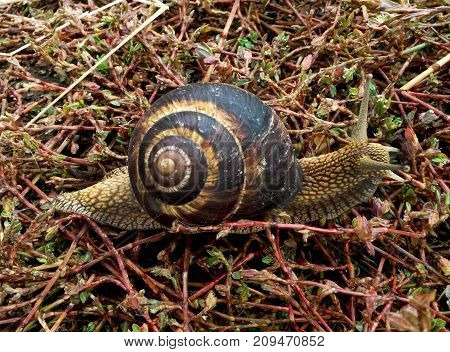 Snail crawling in the grass.Helix pomatia Roman snail Burgundy snail.