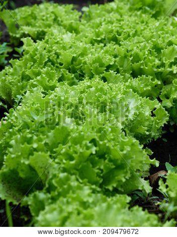Green Lettuce Grows In The Garden