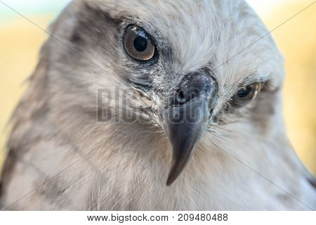 Eyes of a gray eagle close up. Malay, Philippines