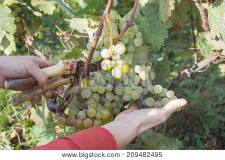 Wine grapes and secateurs in farmer's hands. Yellow-green bunch at the sunny ecological vineyards during harvest. Grapes harvest in vineyard