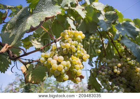 Bunch of red wine grapes hang from a vine warm. Ripe grapes with green leaves. Nature background with Vineyard. ripe grapes in the vineyard. Wine concept