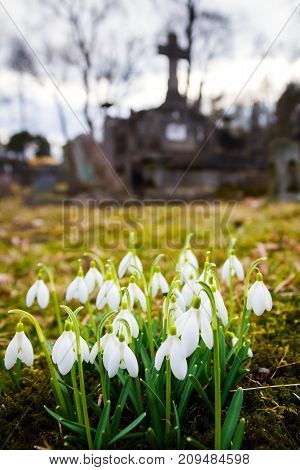 Closeup shot of fresh common snowdrops (Galanthus nivalis) blooming in the cemetery