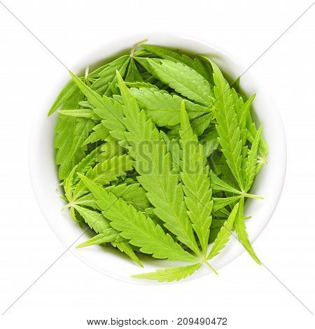 Cannabis leaves in white porcelain bowl. Fresh hemp fan leaves of Cannabis ruderalis. Low THC species used as tea and as herbal medicine. Isolated macro photo close up from above on white background.