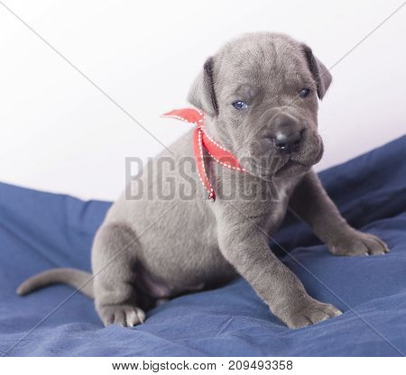Gray Great Dane purebred puppy on a blue blanket