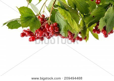 Branch of red viburnum berries with leaves isolated on white. Viburnum opulus. Close-up studio shoot.