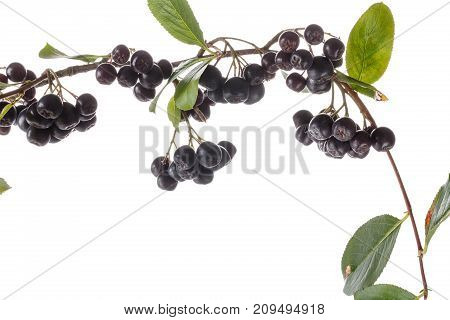 Branch of сhokeberry with leaves isolated on white. Black aronia berries. Close-up studio shoot.