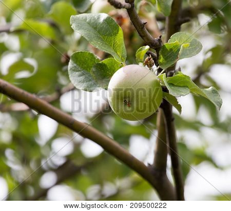 ripe apples on a tree branch . In the park in nature