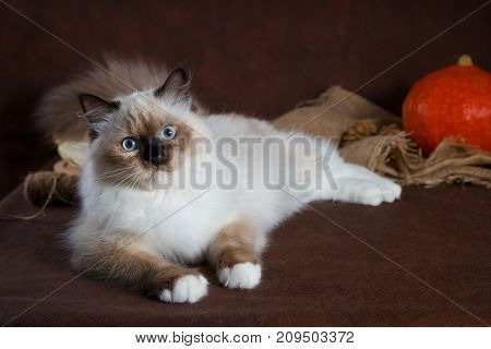 Cute neva masquerade kitten on brown background. Pumpkins in a basket, autumn harvest.