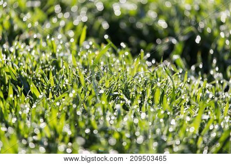 dew on the grass in nature . In the park in nature