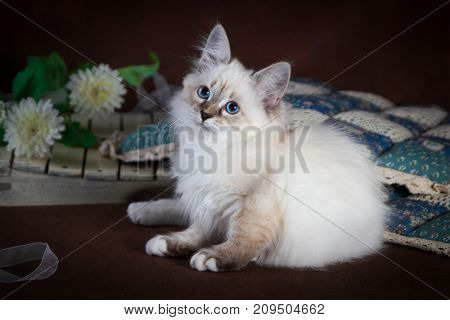 Purebred beautiful Neva masquerade cat, kitten on a brown background. Pillows and flowers as decoration