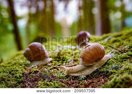 Helix pomatia also Roman snail, Burgundy snail, edible snail or escargot, is a species of large, edible, air-breathing land snail, a terrestrial pulmonate gastropod mollusk in the family Helicidae. poster
