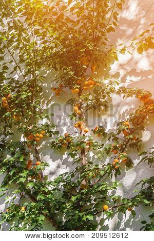 Beautiful large apricot tree with ripe fruits on the wall. The vertical frame.