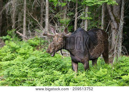 Bull Moose (Alces alces) grazing in autumn in Algonquin Park