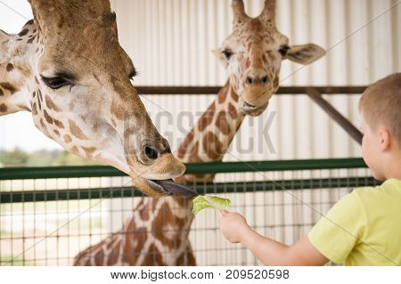 Cute kid boy feeding giraffes in the zoo. Child watching animals and feeding them with green leaves in safari park.