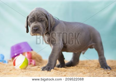 Sand on the mouth of a purebbred Great Dane puppy