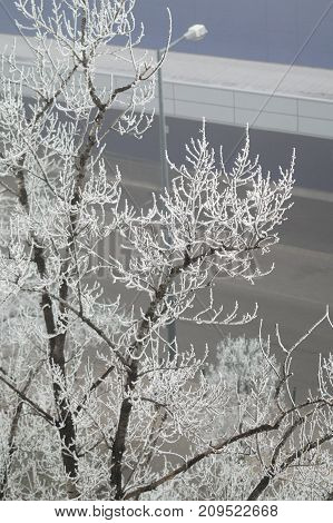 Tree with street in the backround and hoarfrost.