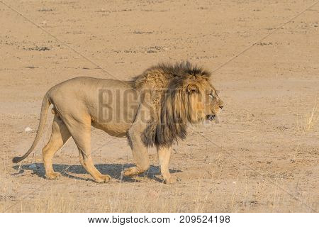 A magnificent male lion walking in the dry Nossob River bed in the Kgalagadi Transfrontier Park which straddles South Africa and Botswana.