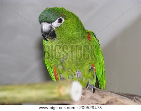 Green parrot. Hahn's macaw on perch indoors close up from slightly below the bird. Front view.