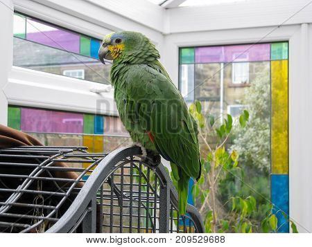Amazon parrot. Pet bird perched on cage in a sunroom with stained glass windows.