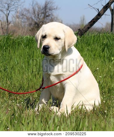The Little Labrador Puppy In The Park