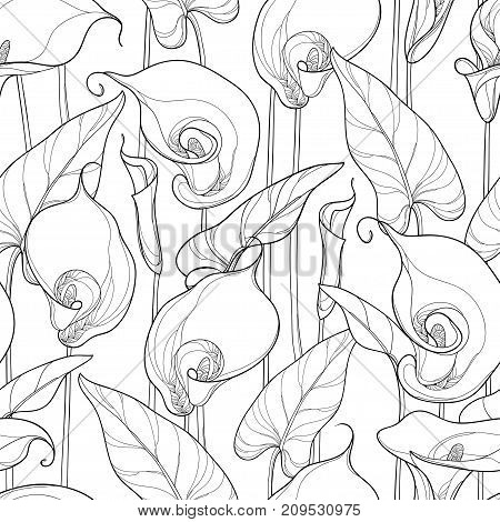 Vector seamless pattern with outline Calla lily or Zantedeschia. Ornate flower, bud and leaves in black on the white background. Floral pattern in contour style for summer design and coloring book.