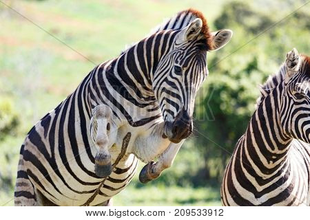 Zebra Jumping In The Air