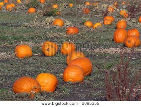 Pumpkins In Fied