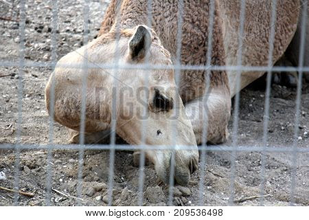 the animal was caught and put in an iron cage