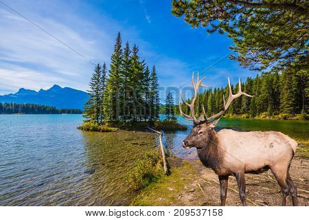 The concept of ecological and active tourism. The picturesque lake with emerald water in the Rocky Mountains. The magnificent noble deer with branched horns graze at the lake