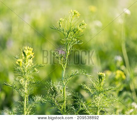 flowering herbs in nature . In the park in nature