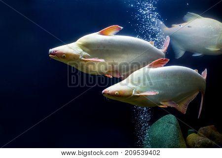 White tropical fish in a rainbow shark.