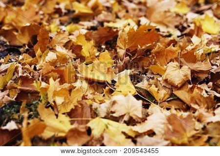 Autumn Foliage. Background With Autumn Colorful Leaves. Background Group Autumn Orange Leaves. Outdo