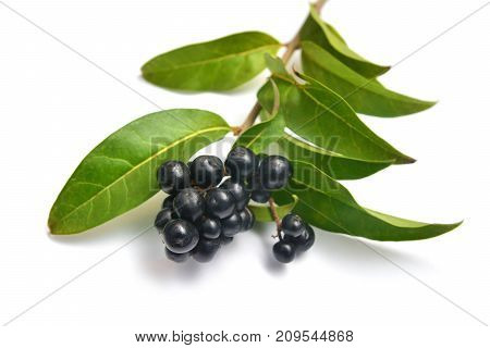 ligustrum vulgare branch and fruit known as wild privet