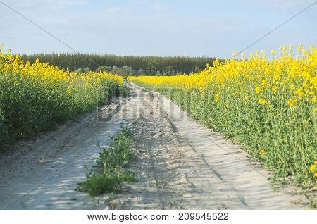 Dirt Road In The Rape Field