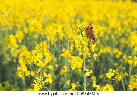 Butterfly On The Rape Flower