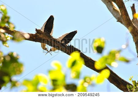 Couple of birds kissing / Two love birds up in a tree crossing their beaks